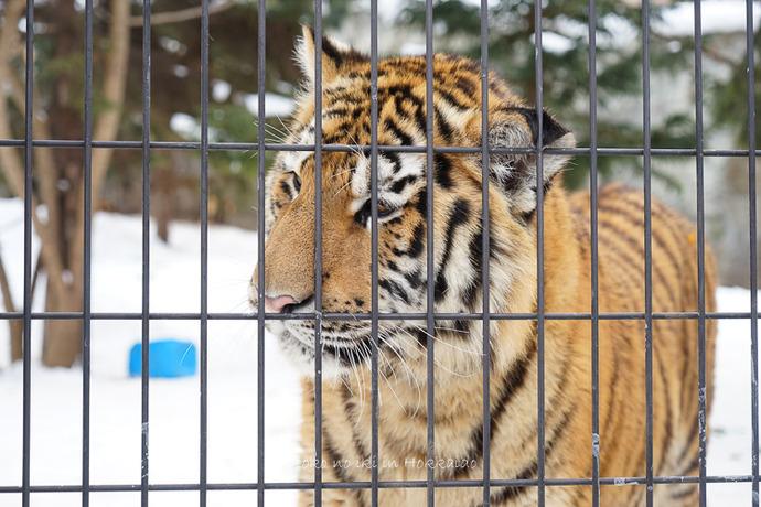 旭山動物園2017-33
