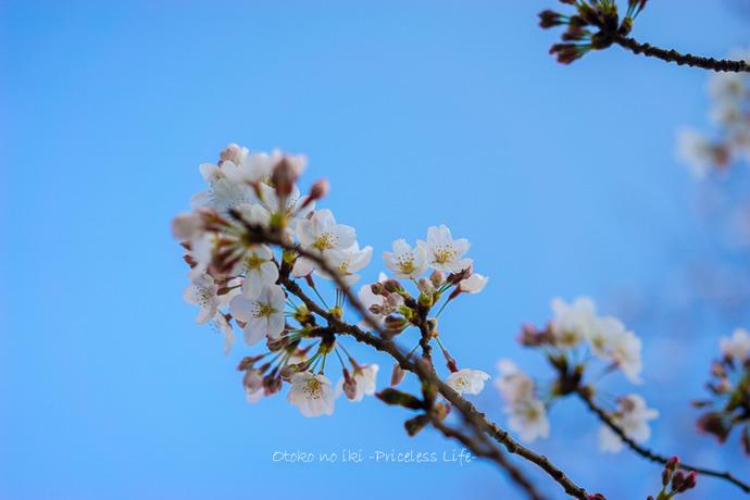 0330桜23月-48