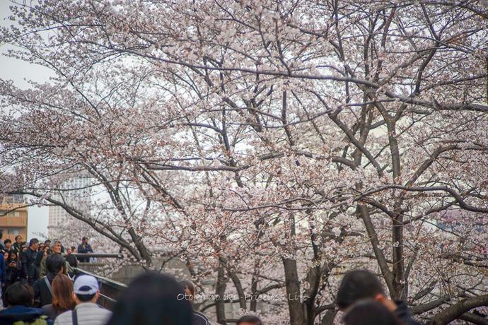 桜2019-8
