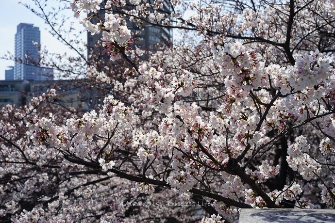 0330桜33月-3
