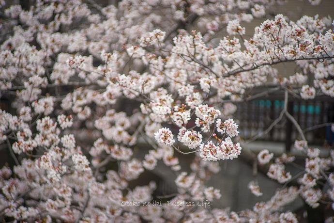 桜2019-9