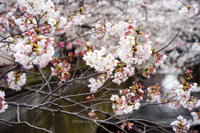 0330桜23月-4