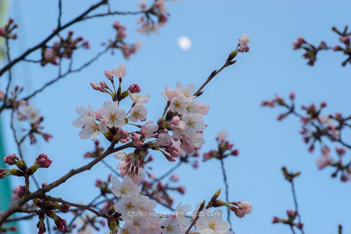 0330桜23月-51