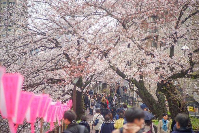 桜2019-5