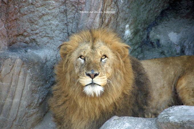 0831-4ライオンキング