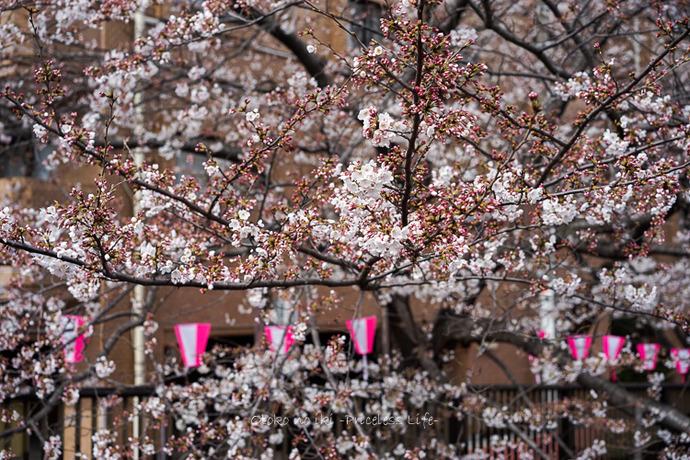 0330桜23月-1
