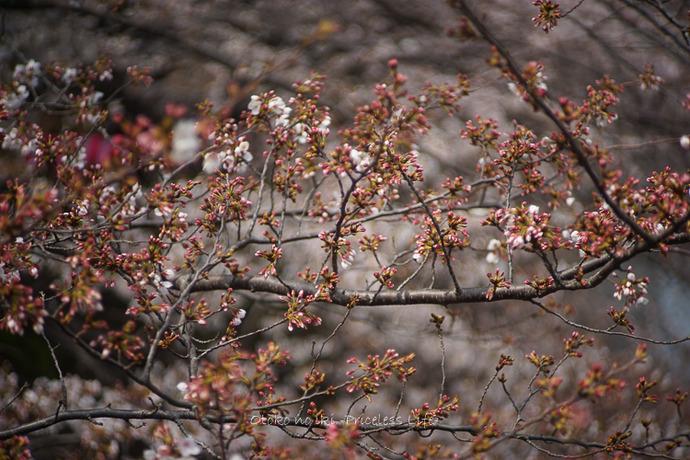 桜2019-1