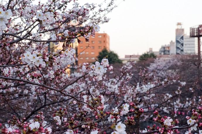 0330桜23月-52