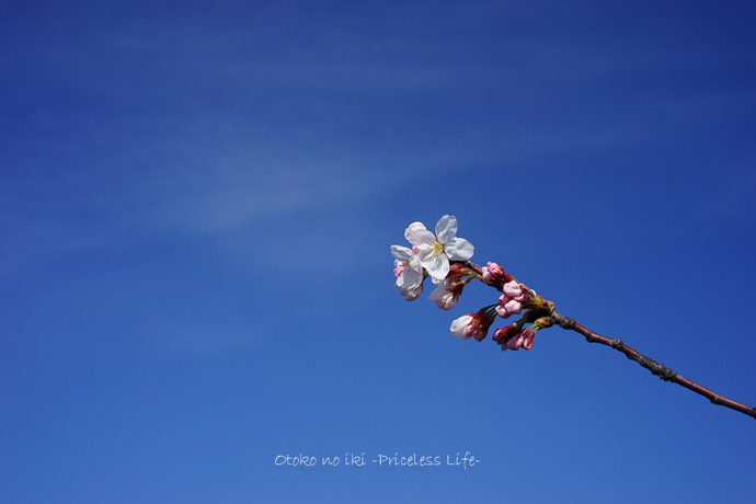0330桜33月-1