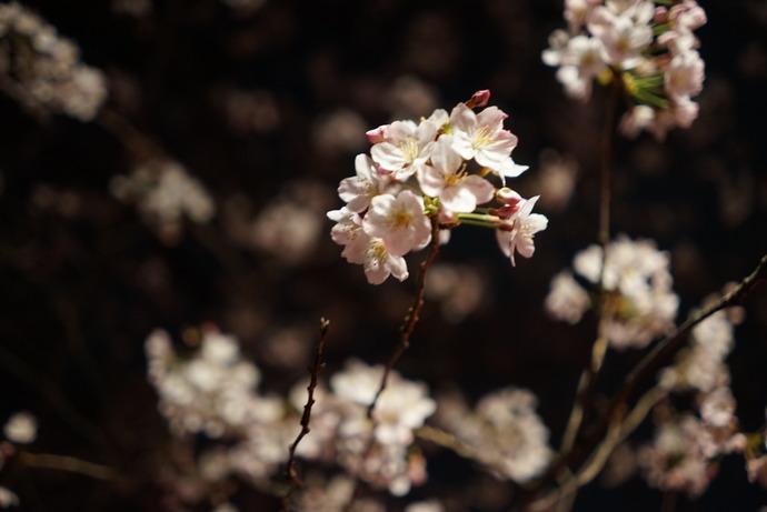 0401桜6