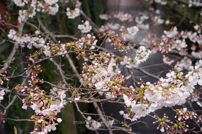 0330桜23月-11