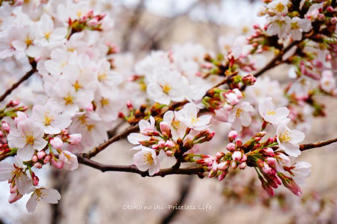 0322桜3月-1