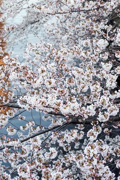 0330桜23月-54