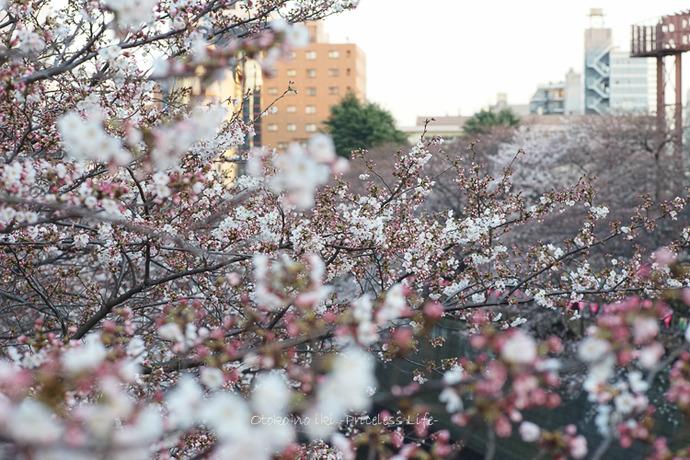 0330桜23月-53