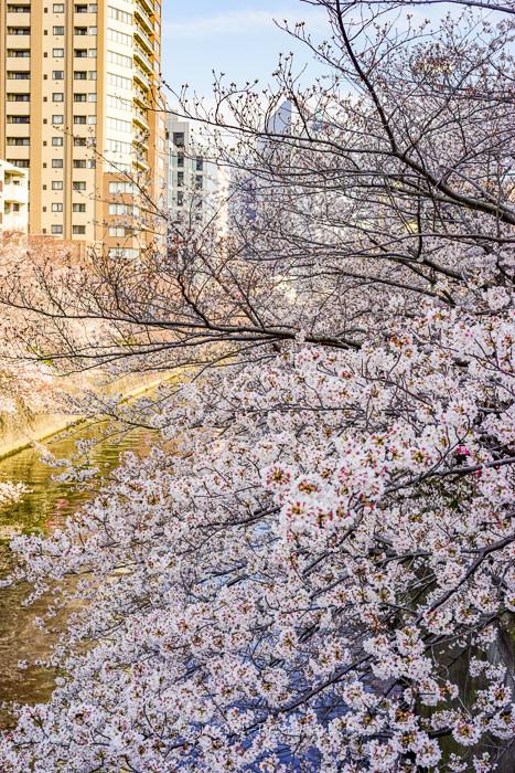 桜2019-20