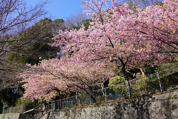 河津桜2020-1