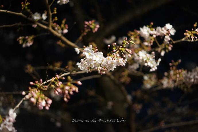 0404目黒川4月-14