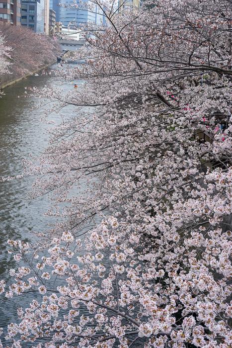 桜2019-11