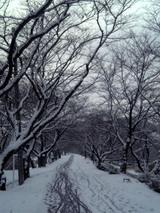 雪の桜土手
