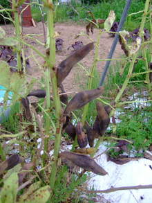 ソラマメ種採り