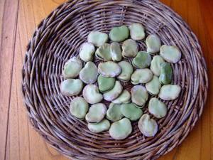 そら豆の種