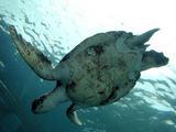 のとじま水族館のウミガメ