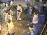 抱卵中のキングペンギン