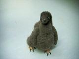アデリーペンギンの赤ちゃん