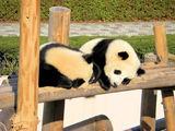 双子の赤ちゃんパンダは仲良く日向ぼっこ