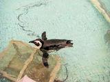 遊泳中のケープペンギン