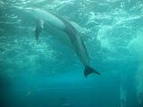 ペンギンと一緒に泳ぐバンドウイルカ