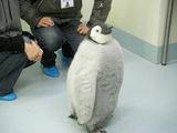 皇帝ペンギンの赤ちゃん(結構でかい)