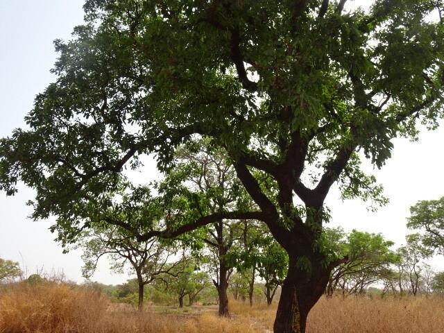 シアバターの木