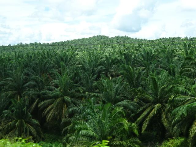 ヤシ油の林が続く