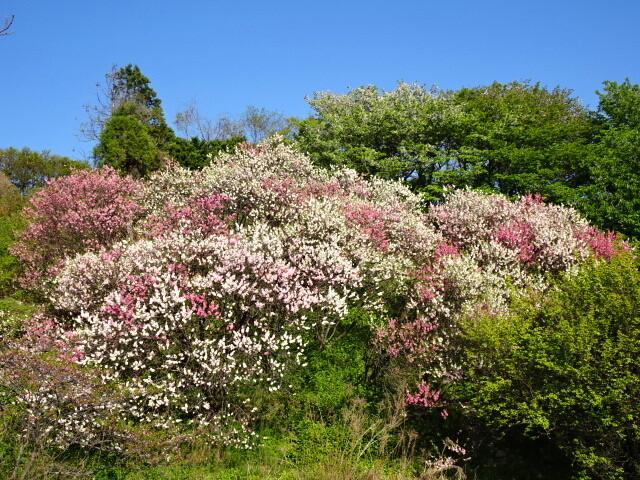 上蒲刈の花桃