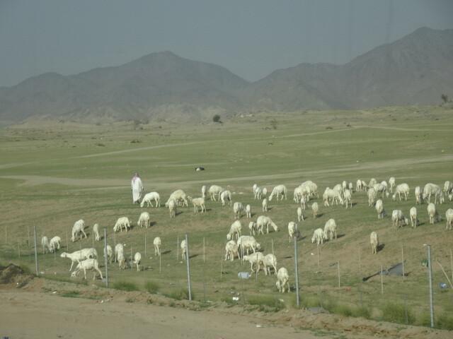 白い羊かヤギか
