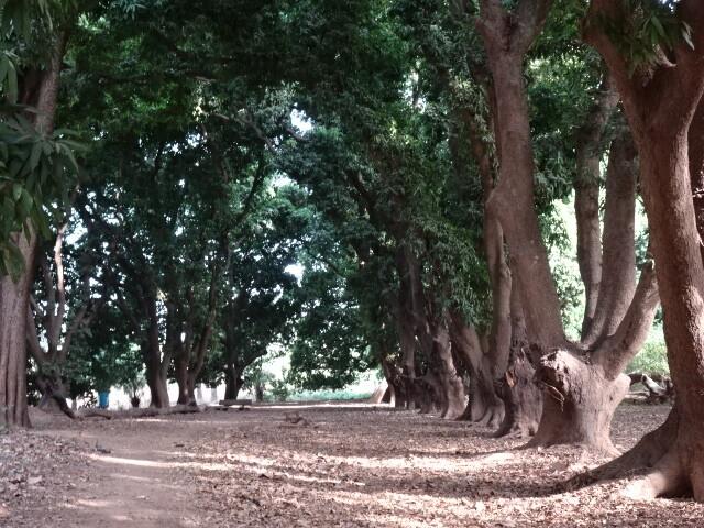 大樹の並木