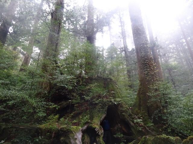 ウイルソン杉2