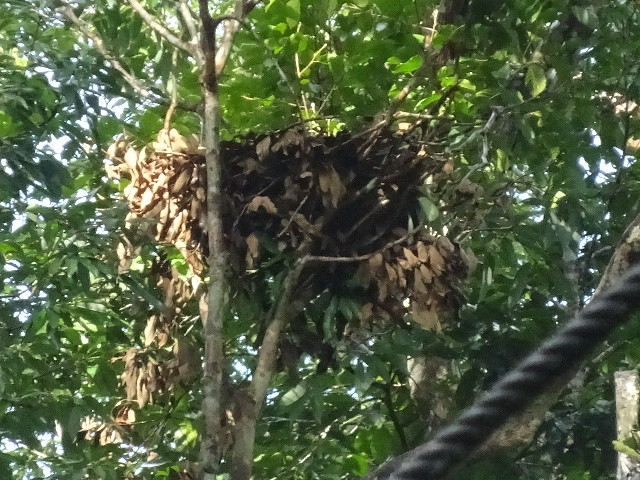 オランウータンの巣
