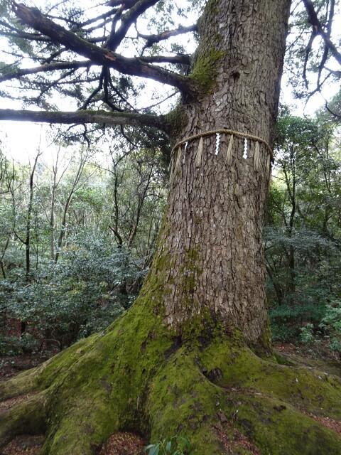 久久能知の聖木