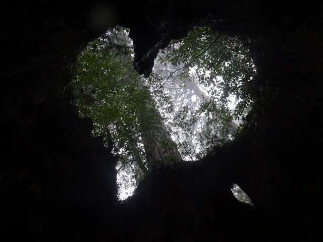 ウィルソン杉のハート