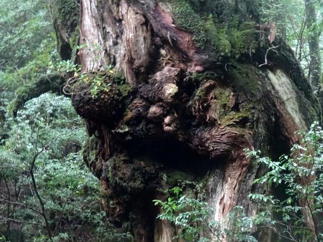 大杉のコブ