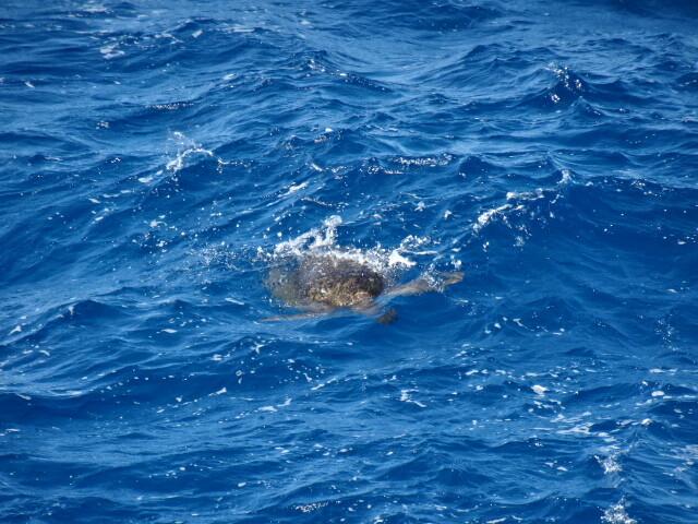 浮かぶウミガメ