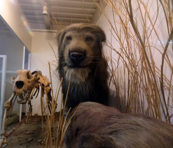 絶滅したライオンの骨格と復元体