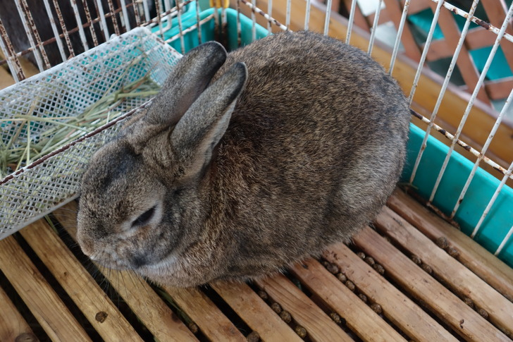 大山トムソーヤ牧場  ウサギ