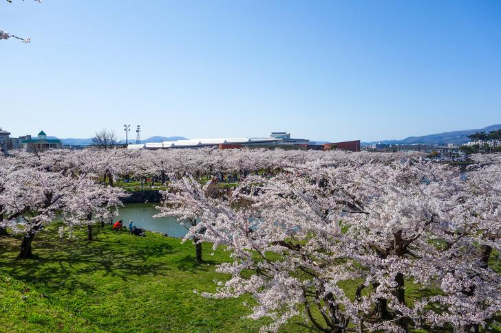 函館 五稜郭公園 桜 花見