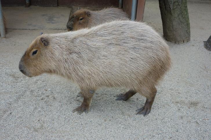海の中道海浜公園 動物の森 カピバラ