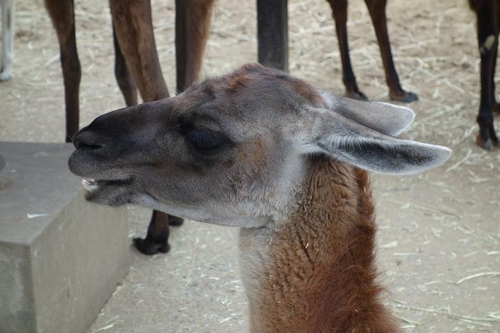 海の中道海浜公園 動物の森 ラマ