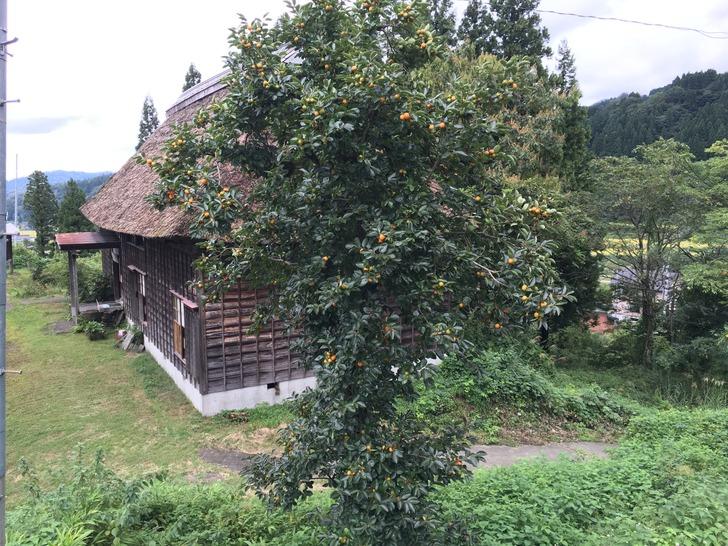 新潟 糸魚川市 柿の木