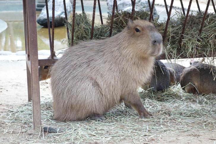 海の中道海浜公園 動物の森 カピバラ マーラ